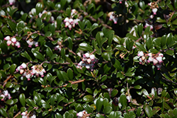 Bearberry (Arctostaphylos uva-ursi) at Dutch Growers Garden Centre