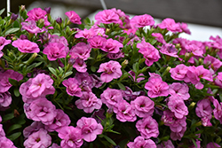 MiniFamous® Double Pink Calibrachoa (Calibrachoa 'MiniFamous Double Pink') at Dutch Growers Garden Centre