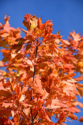 Commemoration Sugar Maple (Acer saccharum 'Commemoration') at Dutch Growers Garden Centre