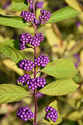 Japanese Beautyberry (Callicarpa japonica) at Dutch Growers Garden Centre