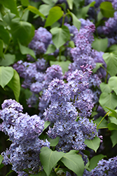 Wedgewood Blue Lilac (Syringa vulgaris 'Wedgewood Blue') at Dutch Growers Garden Centre
