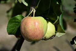 Collett Apple (Malus 'Collett') at Dutch Growers Garden Centre